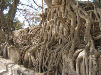 """autobiography of banyan tree Banyan trees are one of the species of """"strangler figs"""" that begin life as epiphytes,  sprouting from seeds deposited by birds in cracks and crevices of other trees."""